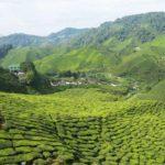 Cameron Highlands – Bei Sonnenschein und Regen in den Teeplantagen