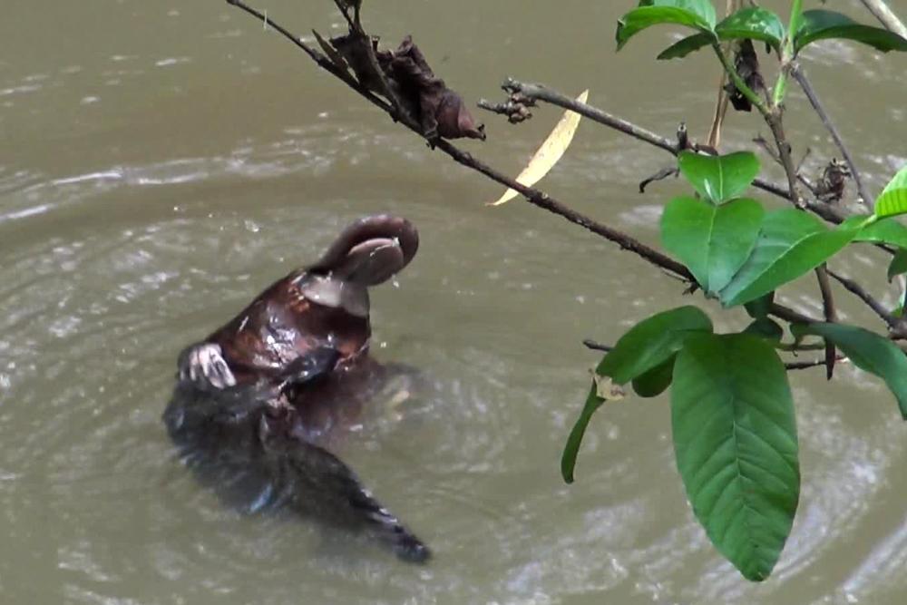 Australien: Durch den Dschungel im Daintree Nationalpark und zu den Schnabeltieren im Tableland
