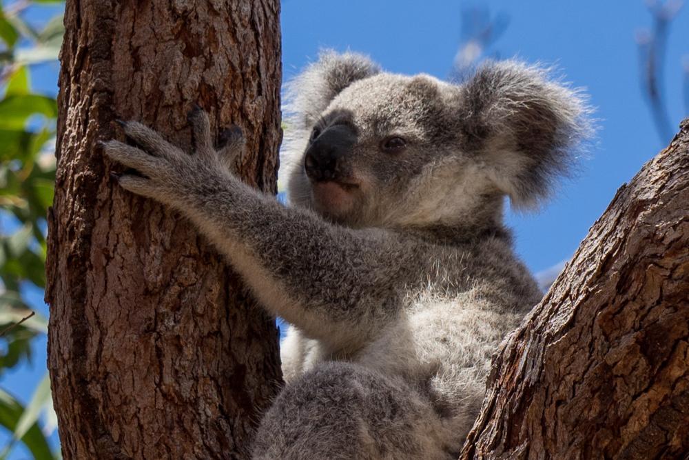Australien: Townsville & Magnetic Island ∙ Zu Besuch bei den Koalas