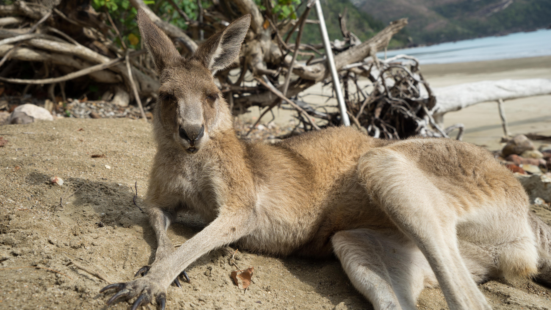Australien: Wilde Kängurus am Strand von Cape Hillsborough