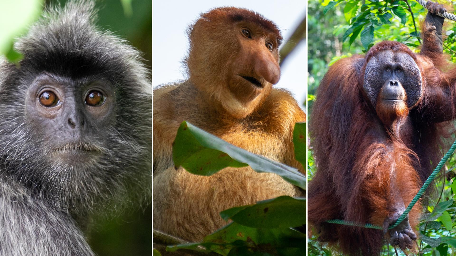 Kuching ∙ Die Katzenstadt und der Bako Nationalpark ∙ Orang-Utans & Nasenaffen ∙ Borneo