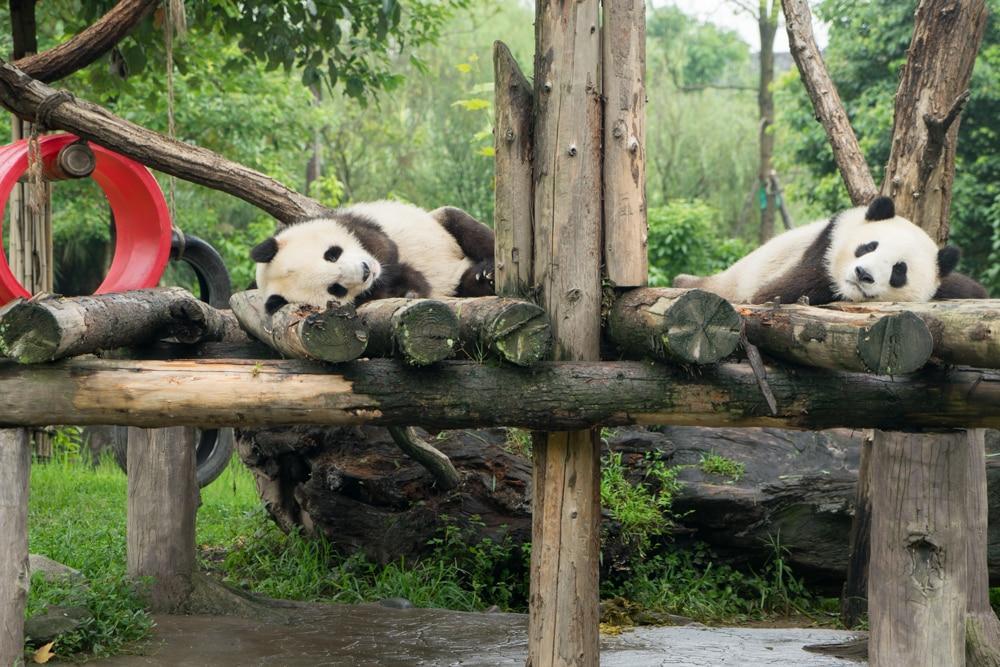 Auf zu den Pandas – Chengdu & Dujiangyan